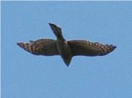 Sparrowhawk having seen off a conspicuously indifferent starling flock