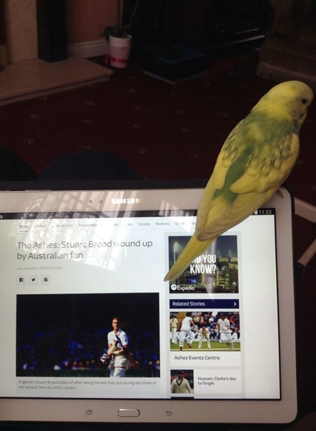 ashes-budgie