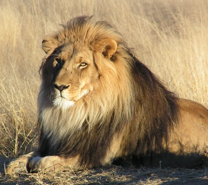 Lion (Wikimedia Commons licensed by Kevin Pluck)