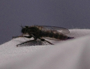 Robber fly shuns Twenty20 action as conspicuously as possible for something this small